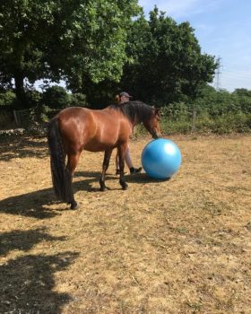 Young horse playing with blue ball.