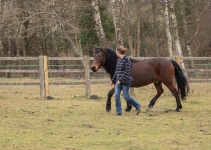Training a young horse.