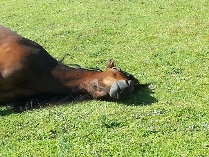 Horses need to feel safe enough to sleep properly.